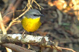 Eastern yellow robin on a branch