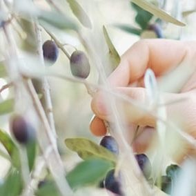 olive_picking_front_page